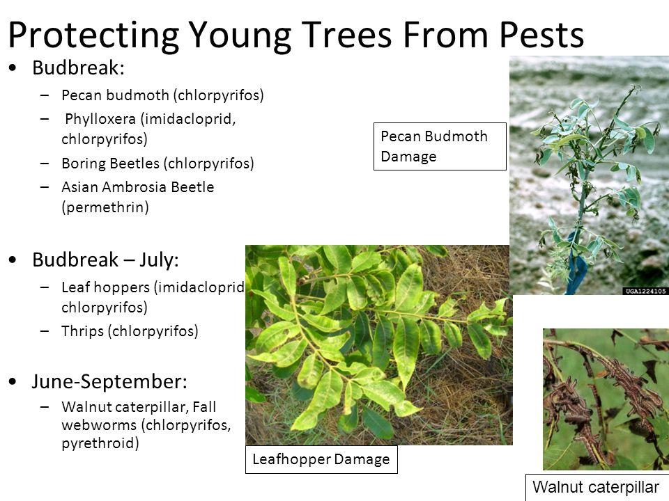 Protecting Young Trees From Pests Budbreak: –Pecan budmoth (chlorpyrifos) – Phylloxera (imidacloprid, chlorpyrifos) –Boring Beetles (chlorpyrifos) –Asian Ambrosia Beetle (permethrin) Budbreak – July: –Leaf hoppers (imidacloprid, chlorpyrifos) –Thrips (chlorpyrifos) June-September: –Walnut caterpillar, Fall webworms (chlorpyrifos, pyrethroid) Leafhopper Damage Pecan Budmoth Damage Walnut caterpillar