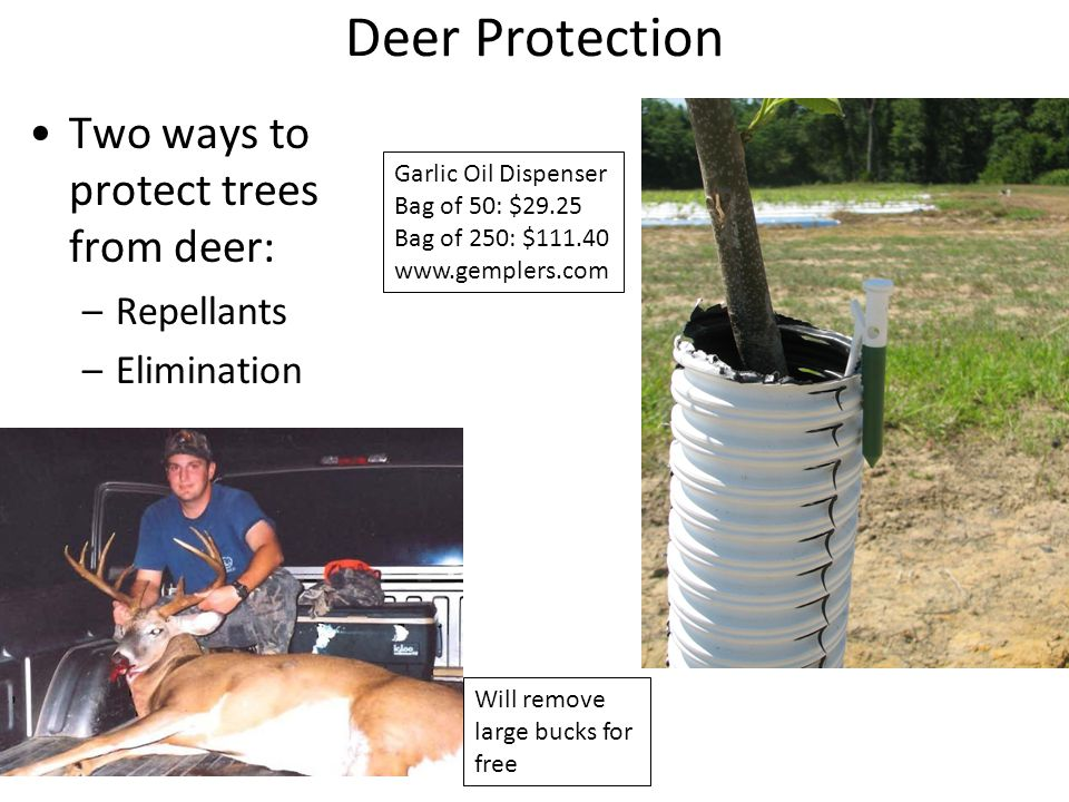 Deer Protection Two ways to protect trees from deer: –Repellants –Elimination Garlic Oil Dispenser Bag of 50: $29.25 Bag of 250: $111.40 www.gemplers.com Will remove large bucks for free