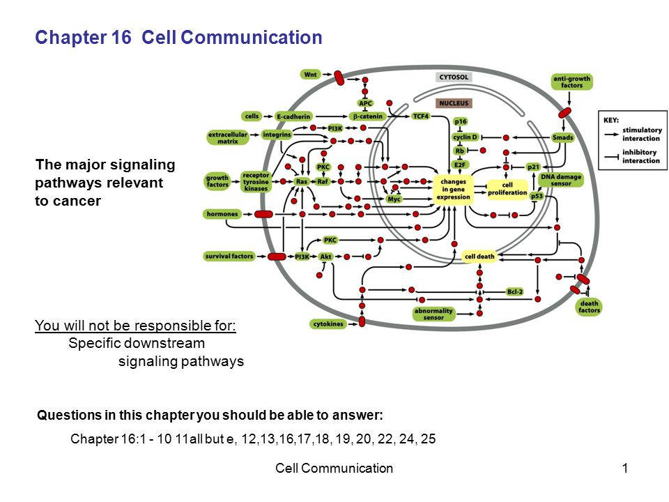 Cell Communication1 Chapter 16 Cell Communication The major signaling pathways relevant to cancer You will not be responsible for: Specific downstream