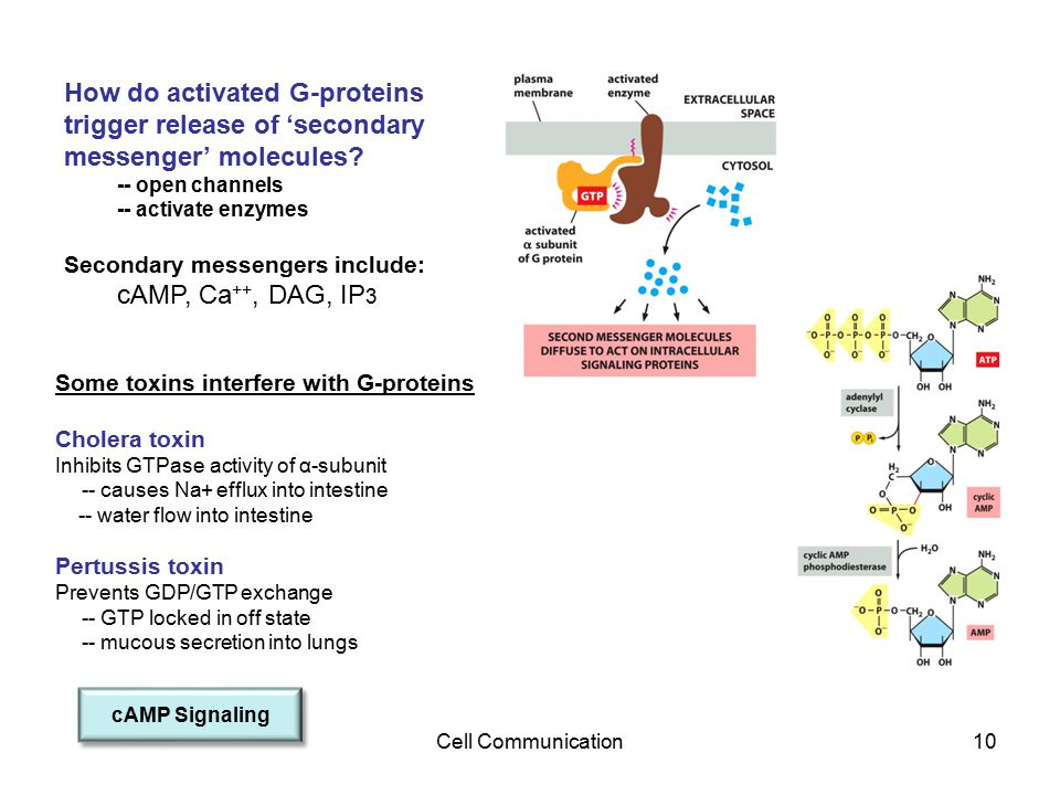 Cell Communication10 How do activated G-proteins trigger release of 'secondary messenger' molecules? -- open channels -- activate enzymes Secondary me