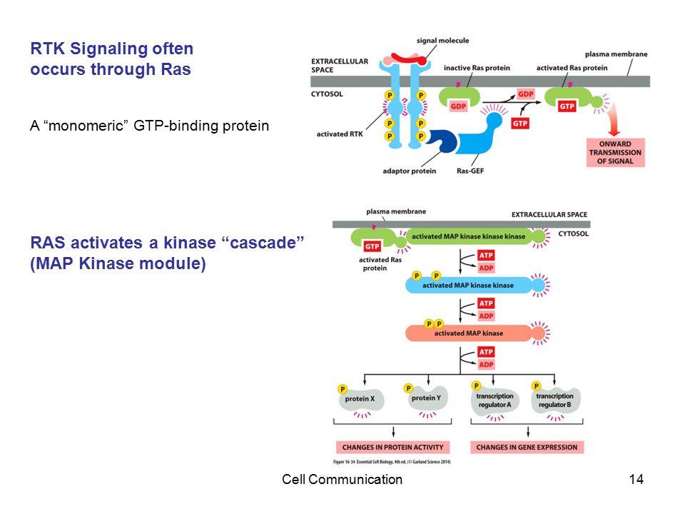"""Cell Communication14 RTK Signaling often occurs through Ras A """"monomeric"""" GTP-binding protein RAS activates a kinase """"cascade"""" (MAP Kinase module)"""