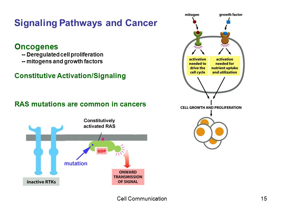 Cell Communication15 Signaling Pathways and Cancer Oncogenes -- Deregulated cell proliferation -- mitogens and growth factors Constitutive Activation/