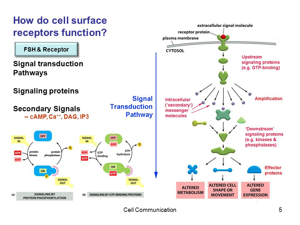 Cell Communication5 How do cell surface receptors function? Signal transduction Pathways Signaling proteins Secondary Signals -- cAMP, Ca ++, DAG, IP3