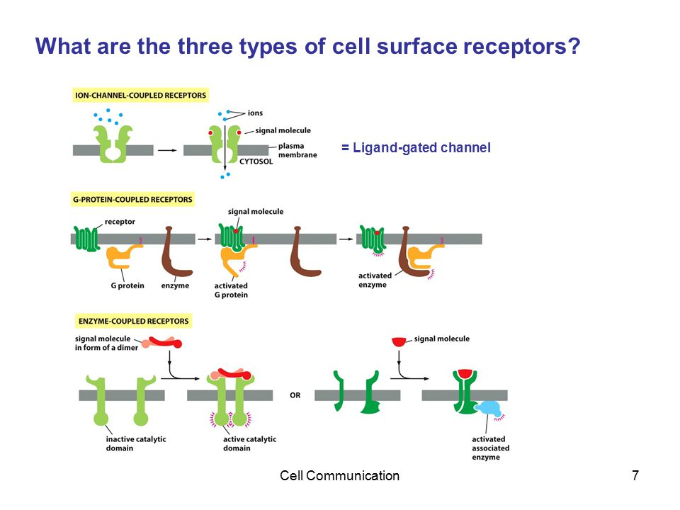 Cell Communication7 What are the three types of cell surface receptors? = Ligand-gated channel