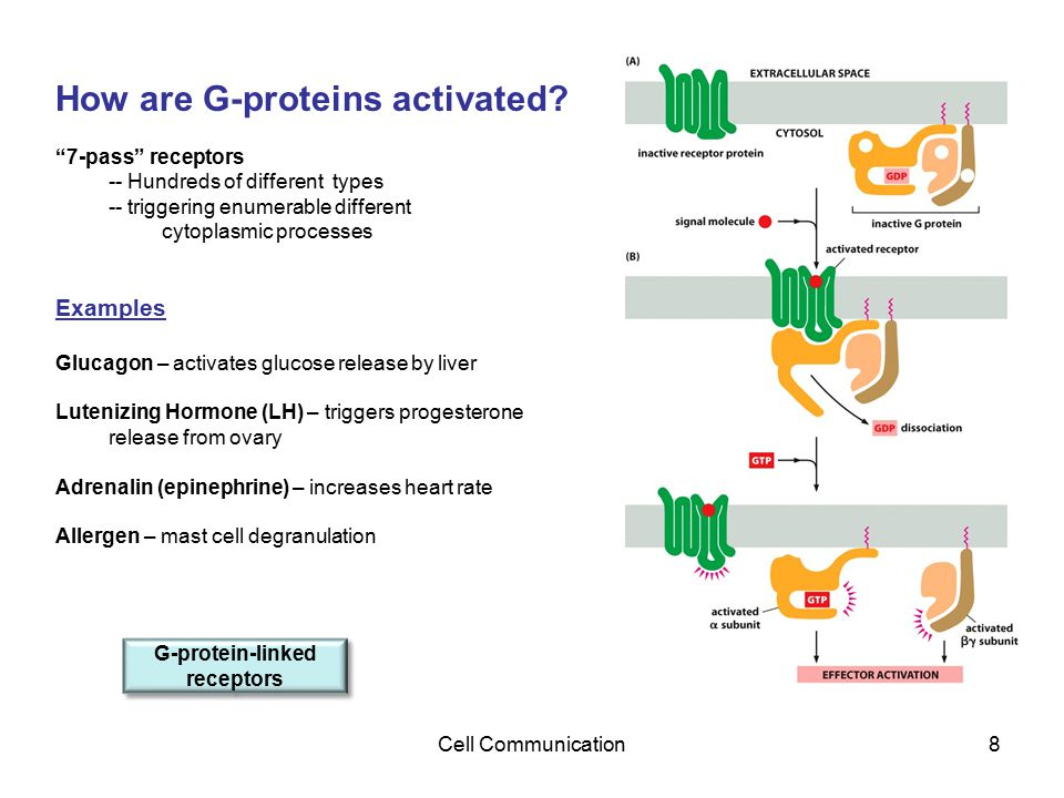 """Cell Communication8 How are G-proteins activated? """"7-pass"""" receptors -- Hundreds of different types -- triggering enumerable different cytoplasmic pro"""