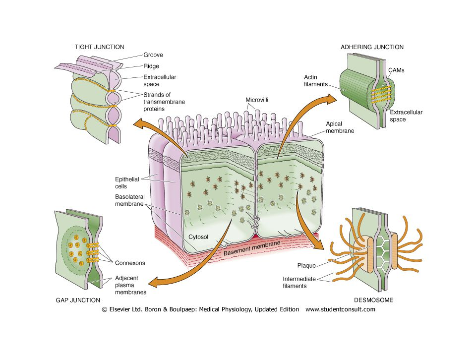 Epithelial junctional complexes- Tight Also called zonula occludens Integral membrane proteins- occludins, claudins Determines permeability characteristics& cell migration On apical side-continuous belt, divides into apical and basal domains (fencing) Prevents Para cellular transport and binds cells together; barrier; gating Common intestinal and skin