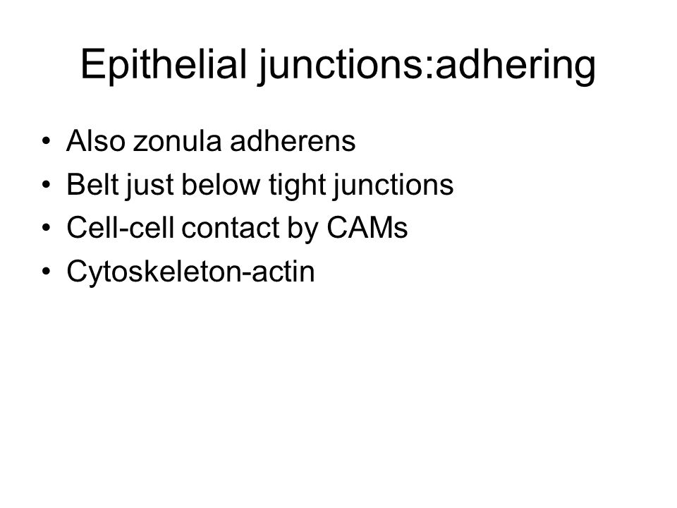 Epithelial junctions:adhering Also zonula adherens Belt just below tight junctions Cell-cell contact by CAMs Cytoskeleton-actin