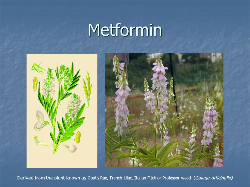 Metformin Derived from the plant known as Goat s Rue, French Lilac, Italian Fitch or Professor-weed (Galega officinalis)