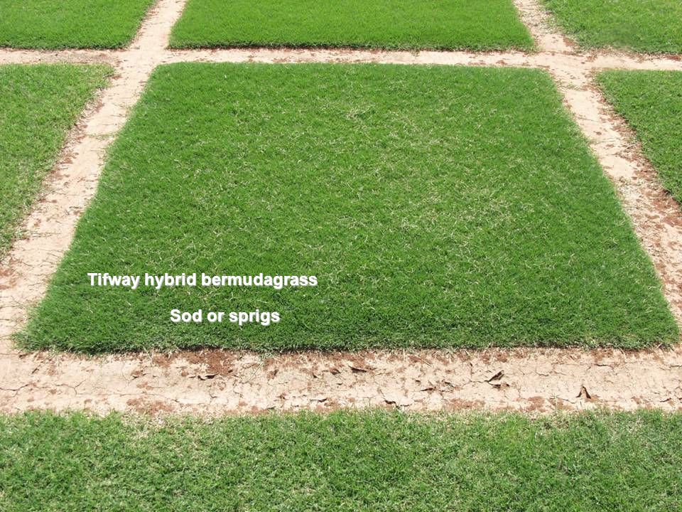 Turf-type common bermudagrass, seeded