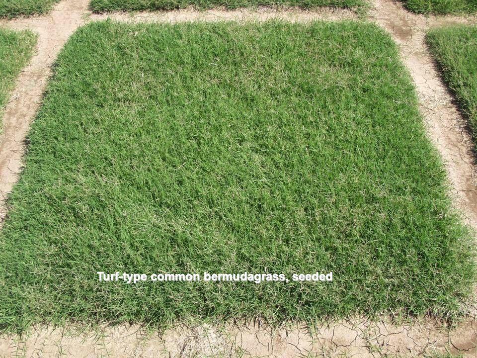 Riviera bermudagrass Seeded