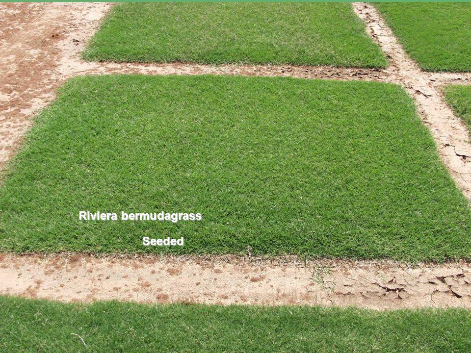 Perceptions about bermuda vs.