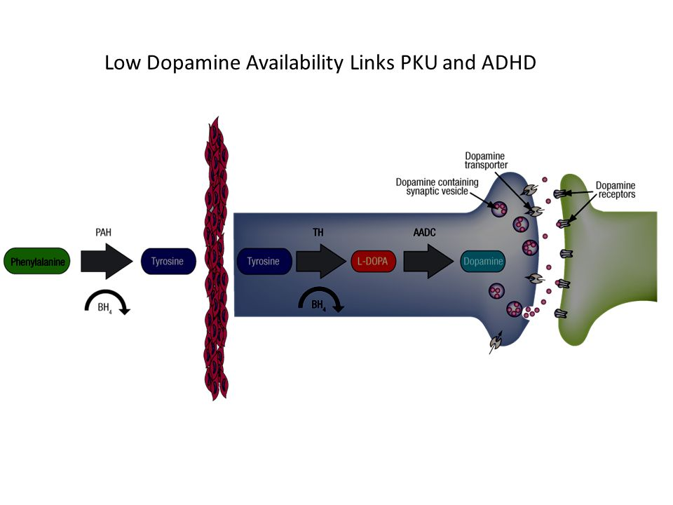Low Dopamine Availability Links PKU and ADHD