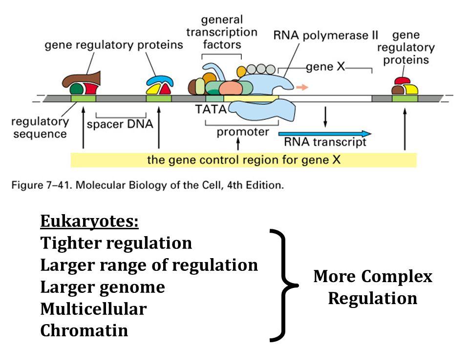 Eukaryotes: Tighter regulation Larger range of regulation Larger genome Multicellular Chromatin More Complex Regulation