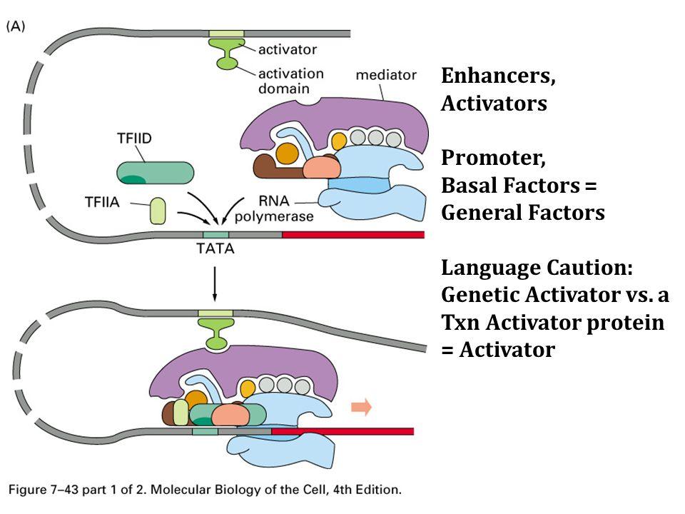 Enhancers, Activators Promoter, Basal Factors = General Factors Language Caution: Genetic Activator vs.