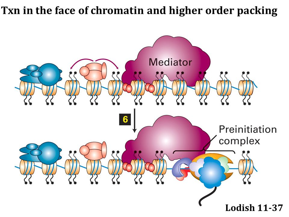 Lodish 11-37 Txn in the face of chromatin and higher order packing