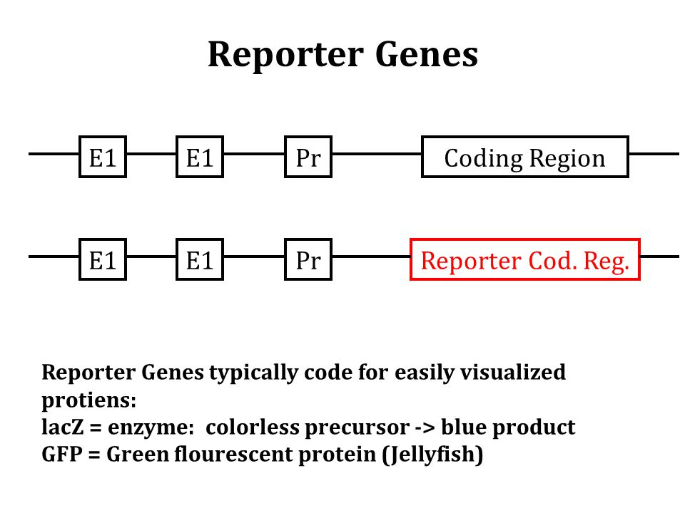 E1 PrCoding RegionE1 PrReporter Cod. Reg. Reporter Genes typically code for easily visualized protiens: lacZ = enzyme: colorless precursor -> blue pro
