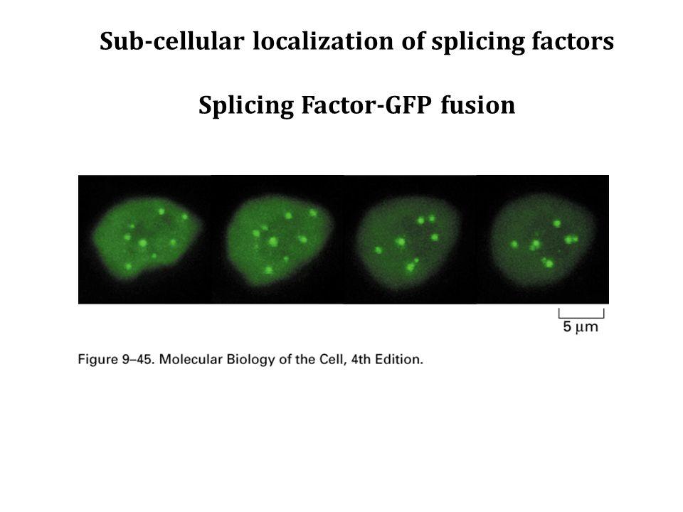 Sub-cellular localization of splicing factors Splicing Factor-GFP fusion