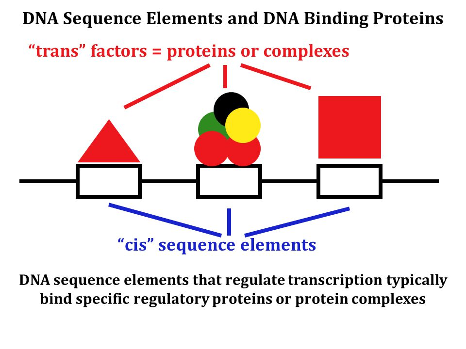 DNA Sequence Elements and DNA Binding Proteins DNA sequence elements that regulate transcription typically bind specific regulatory proteins or protein complexes cis sequence elements trans factors = proteins or complexes
