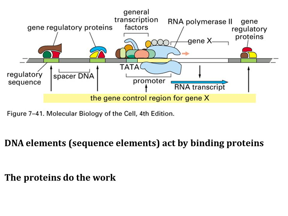 DNA elements (sequence elements) act by binding proteins The proteins do the work