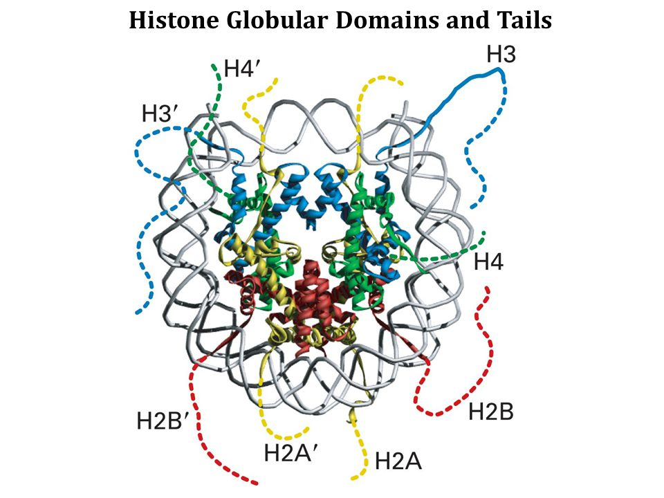 Histone Globular Domains and Tails