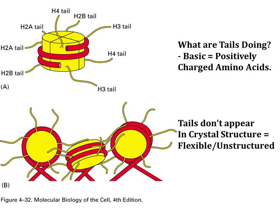 What are Tails Doing. - Basic = Positively Charged Amino Acids.