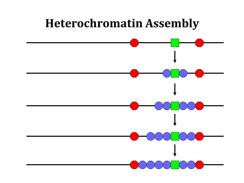 Heterochromatin Assembly