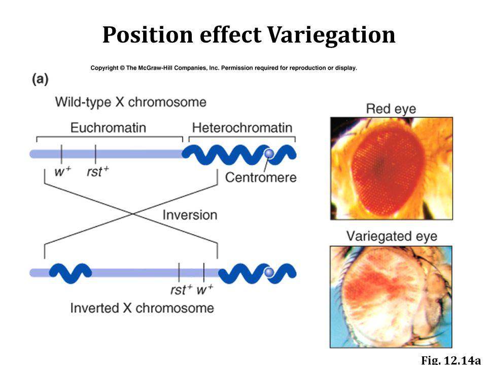 Fig. 12.14a Position effect Variegation