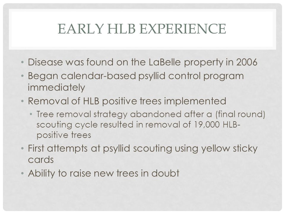 EARLY HLB EXPERIENCE Disease was found on the LaBelle property in 2006 Began calendar-based psyllid control program immediately Removal of HLB positive trees implemented Tree removal strategy abandoned after a (final round) scouting cycle resulted in removal of 19,000 HLB- positive trees First attempts at psyllid scouting using yellow sticky cards Ability to raise new trees in doubt