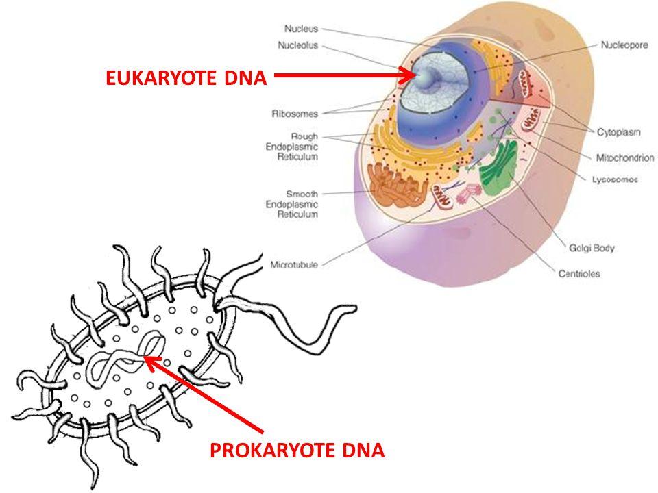 PROKARYOTE DNA EUKARYOTE DNA