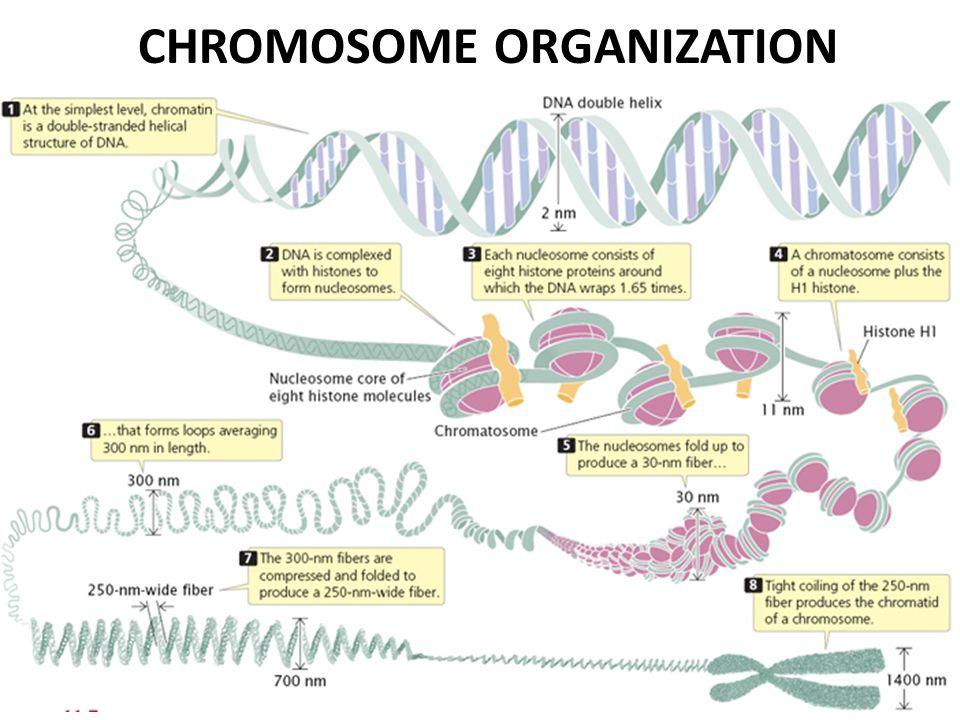 CHROMOSOME ORGANIZATION
