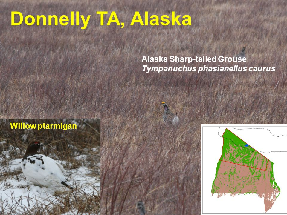 US Army Corps of Engineers BUILDING STRONG ® Donnelly TA, Alaska Alaska Sharp-tailed Grouse Tympanuchus phasianellus caurus Willow ptarmigan