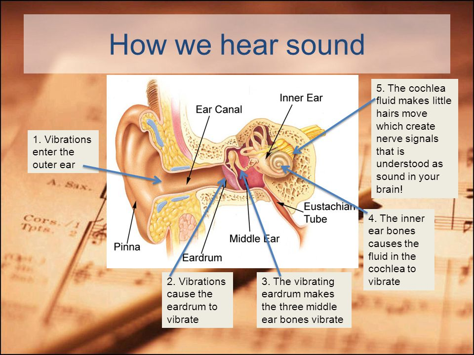 Anatomy of the Ear Take a close look. Do you remember the process of hearing?