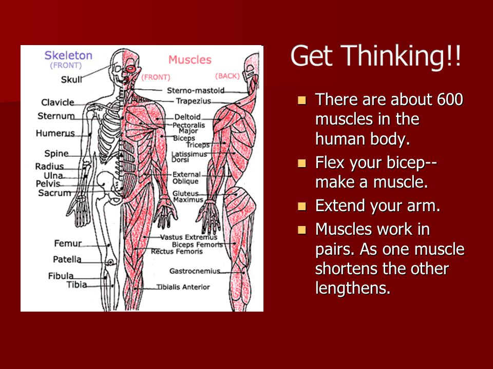 Get the Facts…Muscles Use the following slides.Use the following slides.