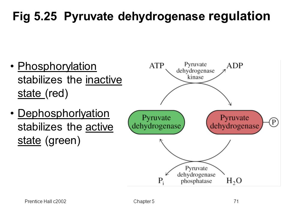 Prentice Hall c2002Chapter 571 Fig 5.25 Pyruvate dehydrogenase regulation Phosphorylation stabilizes the inactive state (red) Dephosphorlyation stabilizes the active state (green)