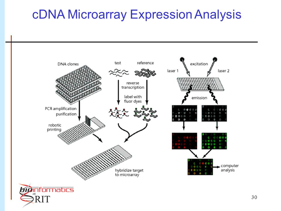 30 cDNA Microarray Expression Analysis Duggan et al. (1999) Nature Genetics 21: 11