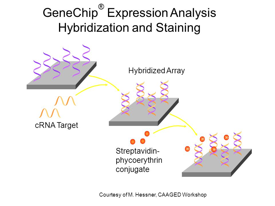 GeneChip ® Expression Analysis Hybridization and Staining Array cRNA Target Hybridized Array Streptavidin- phycoerythrin conjugate Courtesy of M.