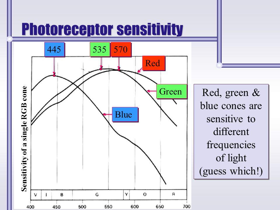 Photoreceptor sensitivity Red, green & blue cones are sensitive to different frequencies of light (guess which!) Red, green & blue cones are sensitive
