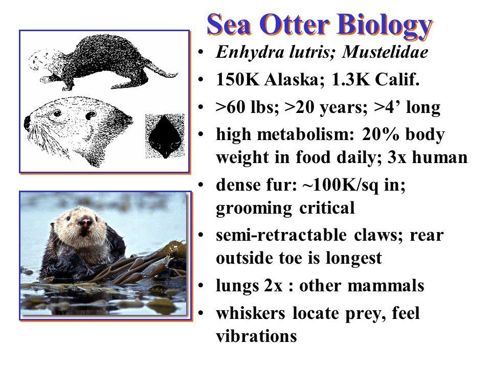 Sea Otter Biology Enhydra lutris; Mustelidae 150K Alaska; 1.3K Calif.