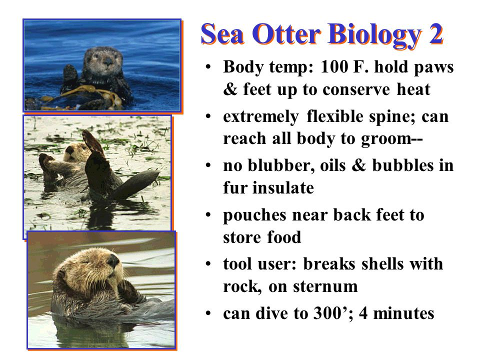 Sea Otter Biology 2 Body temp: 100 F.
