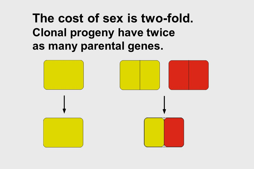 The cost of sex is two-fold. Clonal progeny have twice as many parental genes.