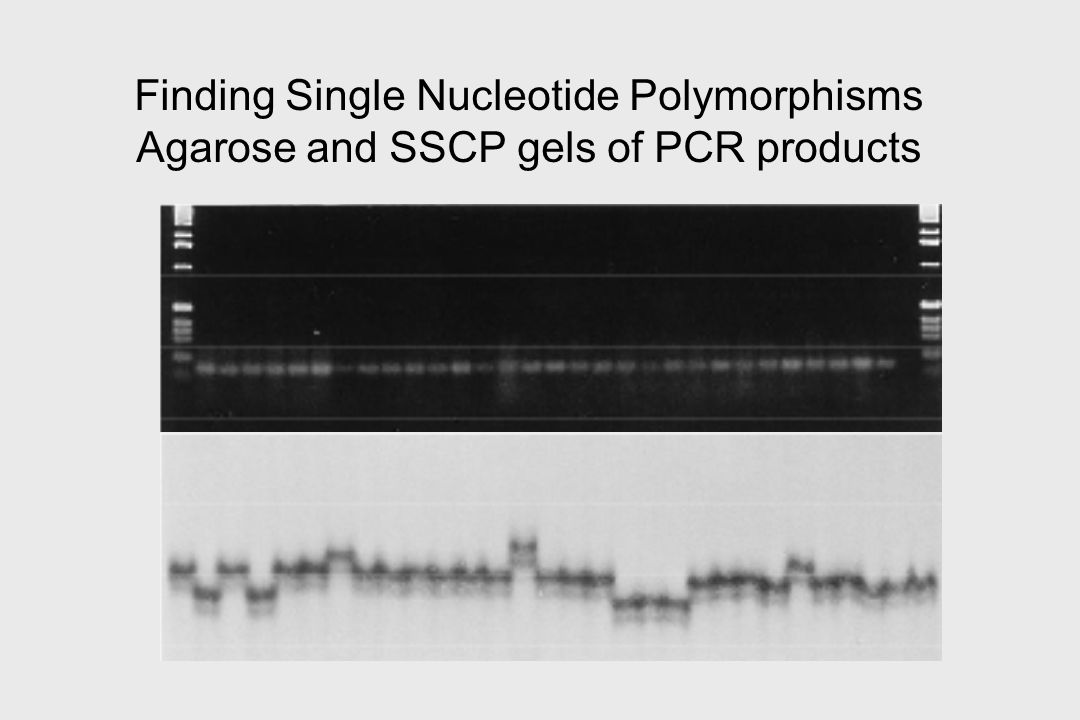 Finding Single Nucleotide Polymorphisms Agarose and SSCP gels of PCR products