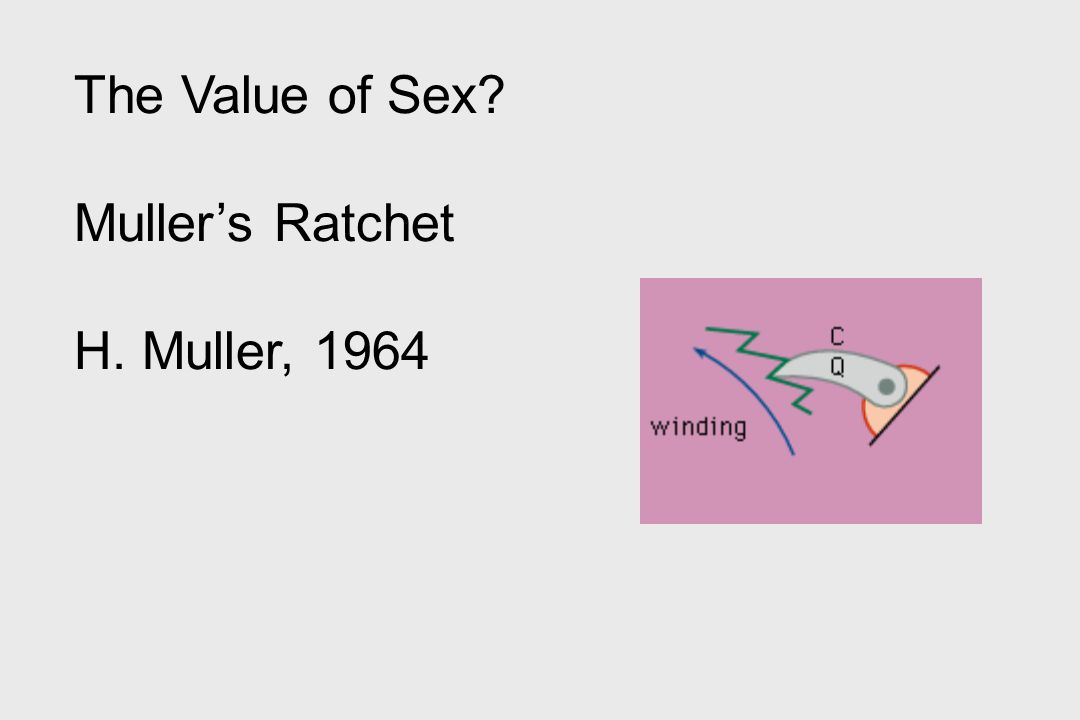 The Value of Sex? Muller's Ratchet H. Muller, 1964