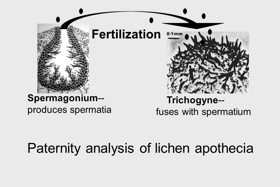 Paternity analysis of lichen apothecia Fertilization Spermagonium-- produces spermatia Trichogyne-- fuses with spermatium