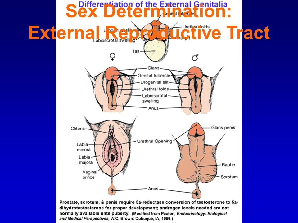 Sex Determination: External Reproductive Tract