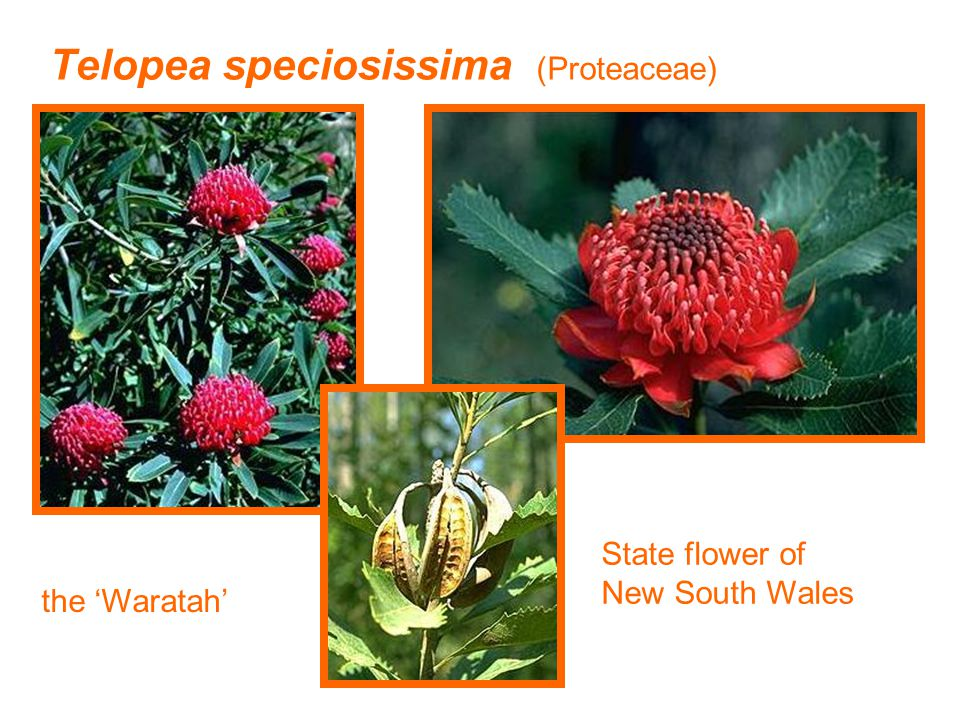 Telopea speciosissima (Proteaceae) the 'Waratah' State flower of New South Wales