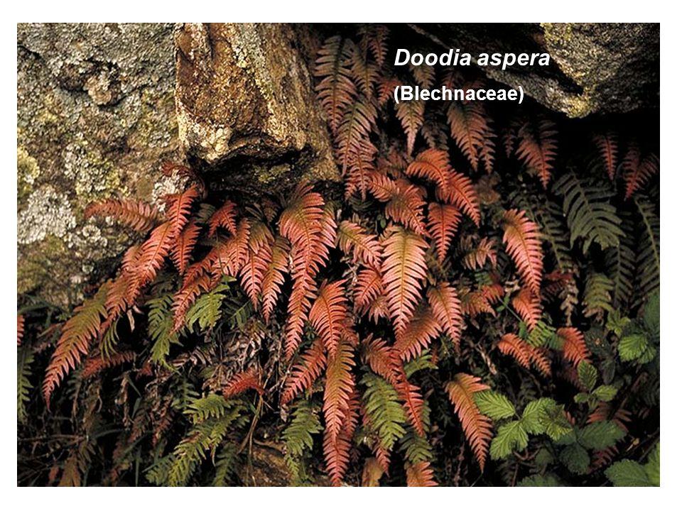 Doodia aspera (Blechnaceae)
