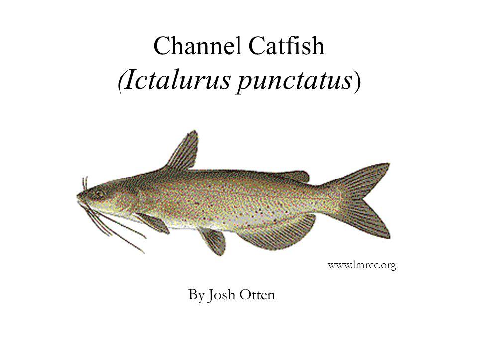 Channel Catfish ( Ictalurus punctatus ) By Josh Otten www.lmrcc.org