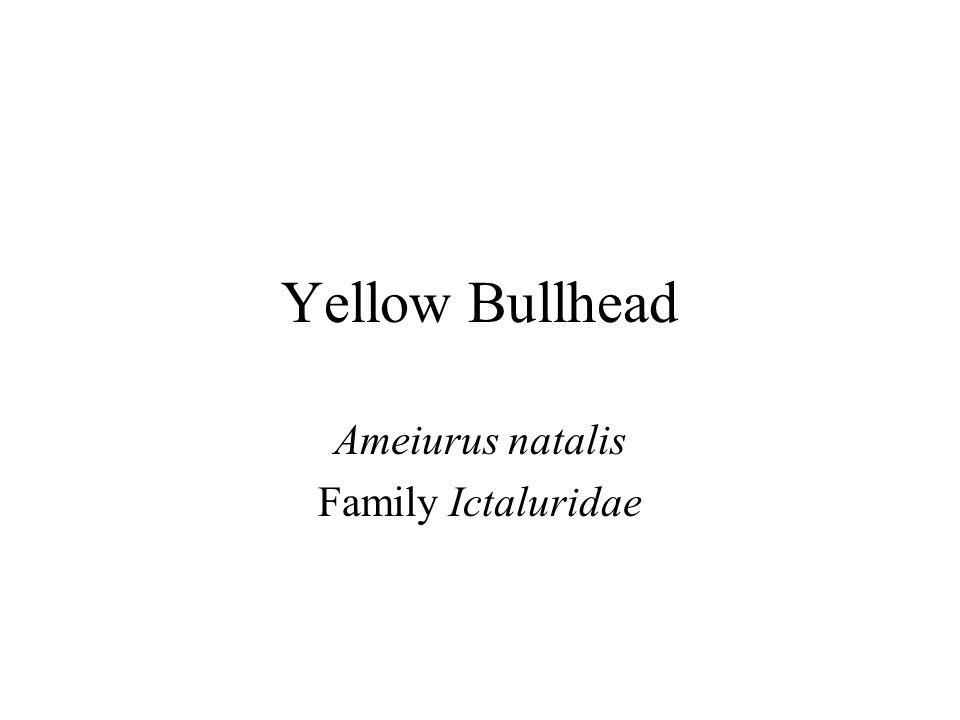 Yellow Bullhead Ameiurus natalis Family Ictaluridae