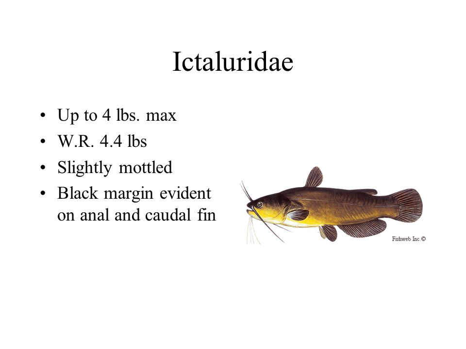 Ictaluridae Up to 4 lbs. max W.R.
