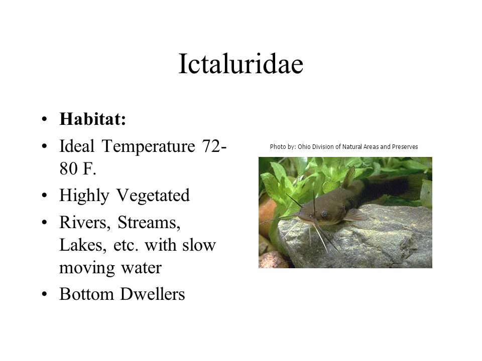 Ictaluridae Habitat: Ideal Temperature 72- 80 F. Highly Vegetated Rivers, Streams, Lakes, etc. with slow moving water Bottom Dwellers Photo by: Ohio D